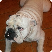 English Bulldog Dog for adoption in Santa Ana, California - Tonka