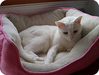 Domestic Shorthair Cat for adoption in Warren, Michigan - Snickers (front declawed)