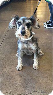 Schnauzer (Miniature) Mix Dog for adoption in New York, New York - Captain Jack
