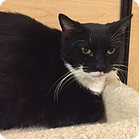 Domestic Shorthair Cat for adoption in Jackson, New Jersey - Bonnie