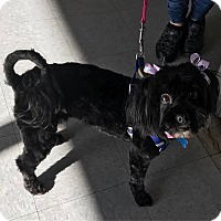 Adopt A Pet :: Dazzling Diamond-ADOPT Me! - Redondo Beach, CA