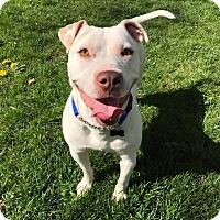 Adopt A Pet :: Pooch! - Eastpointe, MI