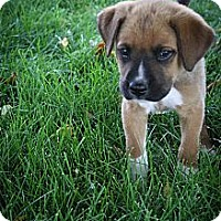 Adopt A Pet :: ToeMater - Broomfield, CO