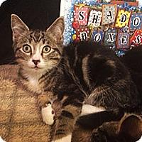 Adopt A Pet :: Peppermint Patty - N. Billerica, MA