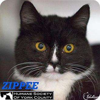 Domestic Mediumhair Cat for adoption in Fort Mill, South Carolina - Zippee