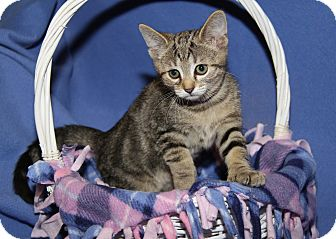 Polydactyl/Hemingway Cat for adoption in Marietta, Ohio - Peanut Butter (Spayed)