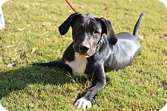 American Pit Bull Terrier/Border Collie Mix Puppy for adoption in Acworth, Georgia - Yaffa - XY litter