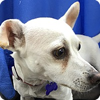 Chihuahua Mix Dog for adoption in Lexington, Kentucky - Casper
