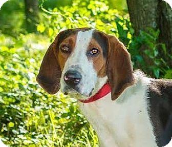 Treeing Walker Coonhound Mix Dog for adoption in Cincinnati, Ohio - Sadler $14