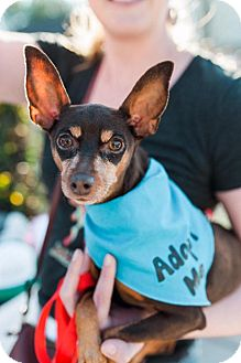 Miniature Pinscher Mix Dog for adoption in Charlotte, North Carolina - Cricket