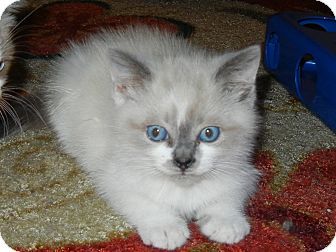 Snowshoe Kitten for adoption in Southington, Connecticut - Merlin