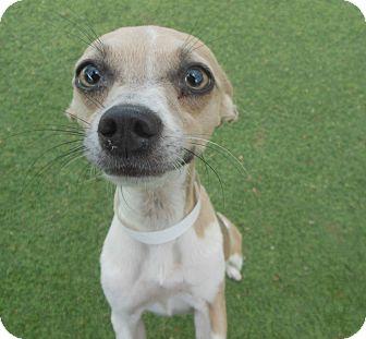 Italian Greyhound Mix Dog for adoption in Phoenix, Arizona - Aria