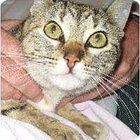 Domestic Shorthair Cat for adoption in Schertz, Texas - Lucky
