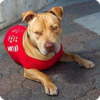 Adopt A Pet :: COSMO - Ojai, CA