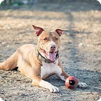 Adopt A Pet :: Pilot - Gloversville, NY