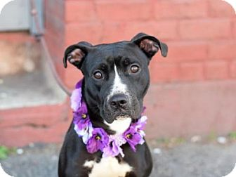 Labrador Retriever/American Pit Bull Terrier Mix Dog for adoption in Ridgefield, Connecticut - Bailey