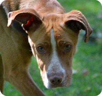 Hound (Unknown Type) Mix Dog for adoption in Sylva, North Carolina - Browny