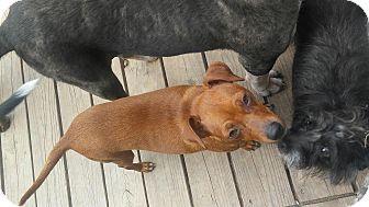 Dachshund Mix Dog for adoption in San Antonio, Texas - Lulu