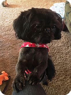 Shih Tzu/Pekingese Mix Dog for adoption in Eden Prairie, Minnesota - RICKY-pending