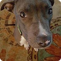 Adopt A Pet :: Bumble - Windermere, FL