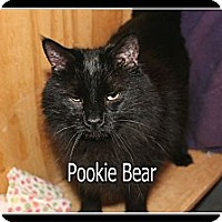 Domestic Longhair Cat for adoption in Wichita Falls, Texas - Pookie Bear