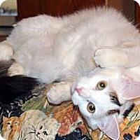 Adopt A Pet :: Plisch - Alexandria, VA