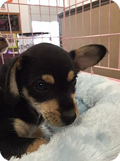 Cairn Terrier/Chihuahua Mix Puppy for adoption in Cerritos, California - Figaro