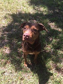 Hound (Unknown Type)/Doberman Pinscher Mix Dog for adoption in Tampa, Florida - Kia
