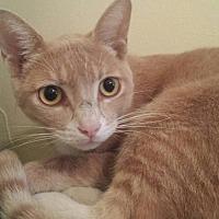 American Shorthair Cat for adoption in Cerritos, California - Biff