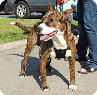Pit Bull Terrier Mix Dog for adoption in Humble, Texas - TeeBee