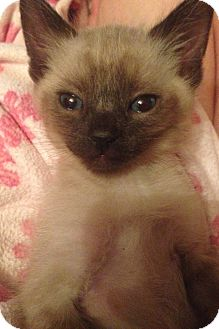 Siamese Kitten for adoption in Los Angeles, California - Harry