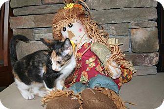 Domestic Shorthair Kitten for adoption in Herndon, Virginia - Stina