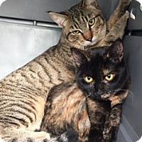 Adopt A Pet :: Chance - Anaheim Hills, CA
