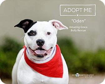 American Staffordshire Terrier/American Bulldog Mix Dog for adoption in Pensacola, Florida - Oden