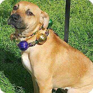 Black Mouth Cur Mix Dog for adoption in Pipersville, Pennsylvania - Frost