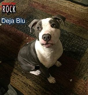 American Bulldog Mix Dog for adoption in New York, New York - Deja Blue