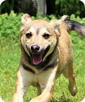Shepherd (Unknown Type)/Sheltie, Shetland Sheepdog Mix Puppy for adoption in Glastonbury, Connecticut - Trigger