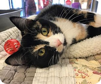 Domestic Shorthair Cat for adoption in Newtown Square, Pennsylvania - Emily Dickinson