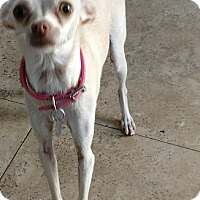 Adopt A Pet :: Gazelle - San Diego, CA