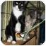 Photo 1 - Domestic Shorthair Cat for adoption in New York, New York - Terri
