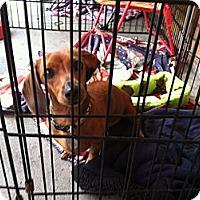 Adopt A Pet :: Pippy - North Hollywood, CA