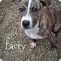 Adopt A Pet :: Lacey - Toledo, OH