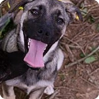 Adopt A Pet :: Striker (Now a $100 off adopti - Brattleboro, VT