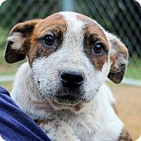 Adopt A Pet :: Smokey Bear - Naugatuck, CT