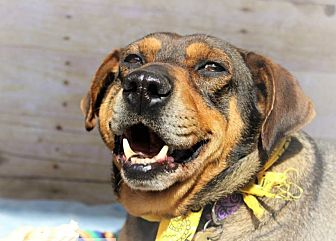 Labrador Retriever Mix Dog for adoption in Blue Ridge, Georgia - Ray
