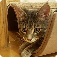 Adopt A Pet :: Chewbacca - Chicago, IL