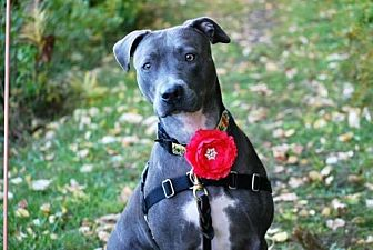 Pit Bull Terrier Mix Dog for adoption in New York, New York - Anya
