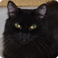 Domestic Shorthair Cat for adoption in Glendale, Arizona - Louie
