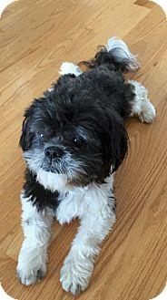 Shih Tzu Dog for adoption in Shallotte, North Carolina - Duncan