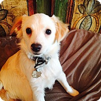 Spaniel (Unknown Type)/Chihuahua Mix Dog for adoption in Santa Monica, California - Malawi